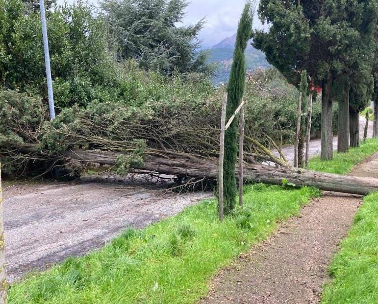 Un cipresso abbattuto dal forte vento ieri mattina sulle colline camaioresi
