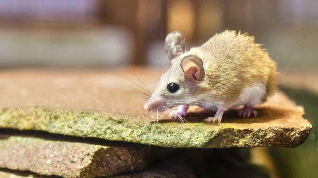 Un esemplare di topolino del genere Acomys