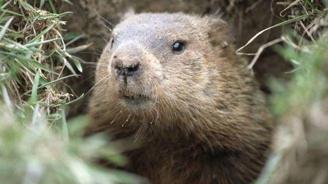 Quando durerà l'inverno ce lo dice una marmotta