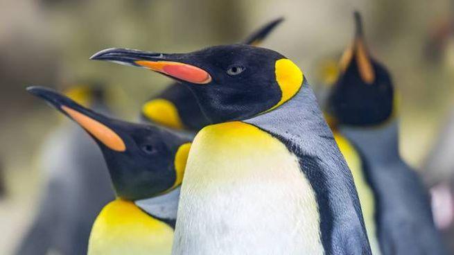 Il piumaggio del pinguino imperatore di solito è nero e bianco, con alcuni inserti gialli