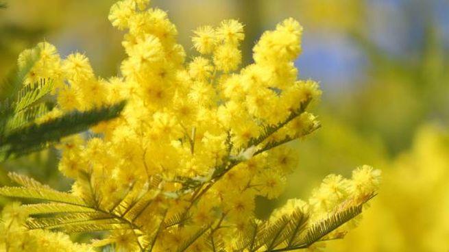 La mimosa, fiore simbolo della Giornata internazionale dei diritti della donna