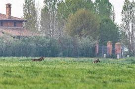 La foto scattata da un cittadino che ha ripreso alcuni lupi nell'abitato di Longara