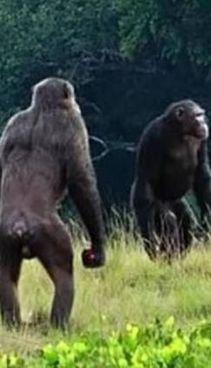 Un gorilla e uno scimpanzè ripresi durante un faccia a faccia