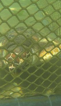 La tartaruga Carolina nella caletta in mare durante la riabilitazione