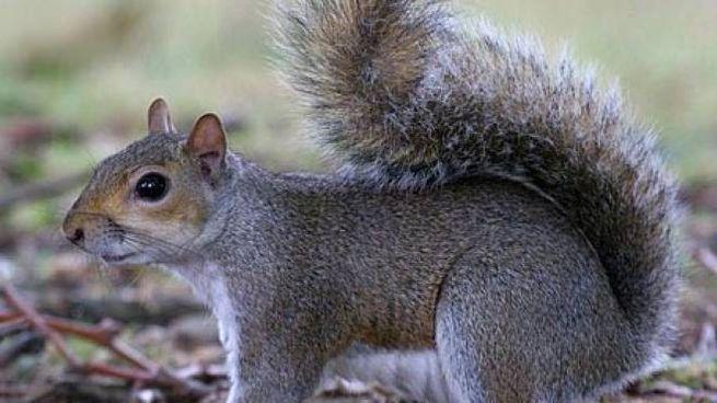 Uno scoiattolo  grigio