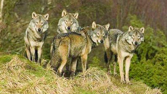 I lupi vivono in modo stabile dalla Campania al Piemonte (omaggio)