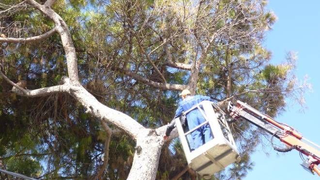 Le operazioni di abbattimento del pino (repertorio)