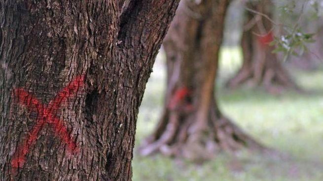 Le operazioni di taglio degli ulivi contaminati da Xylella fastidiosa in Salento