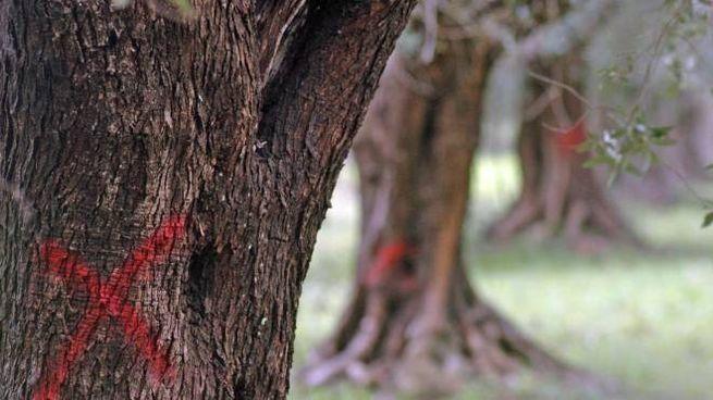 Una pianta di ulivo infettata dalla Xylella fastidiosa (Ansa)