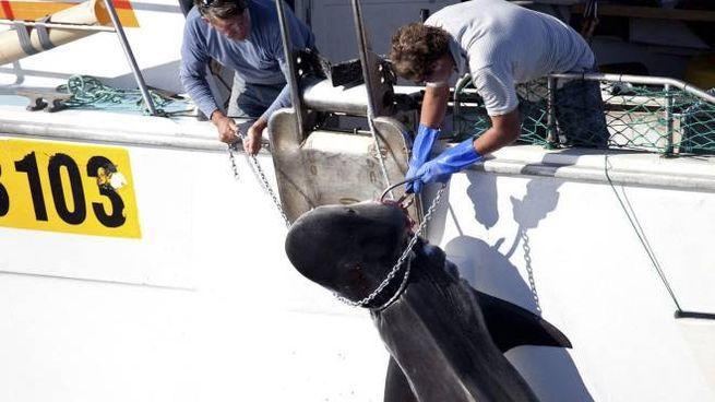 La Reunion, autorizzata la caccia agli squali tigre (Ansa)