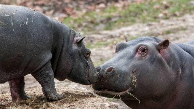 Amore di mamma ippopotamo in una foto Zavatterio per Parco Natura Viva