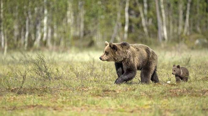 Mamma orsa con il cucciolo in una foto Olycom