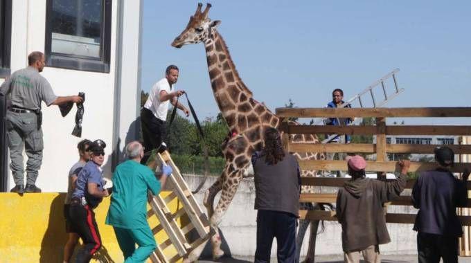 La giraffa Aleksandre morta a Imola dopo essere fuggita dal circo (foto Isolapress)