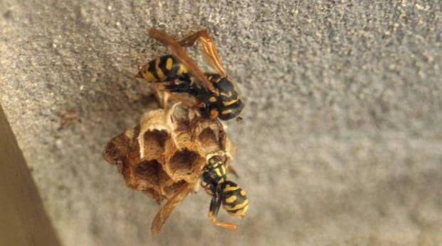 Un nido di vespe (Immagine di repertorio Pressphoto)