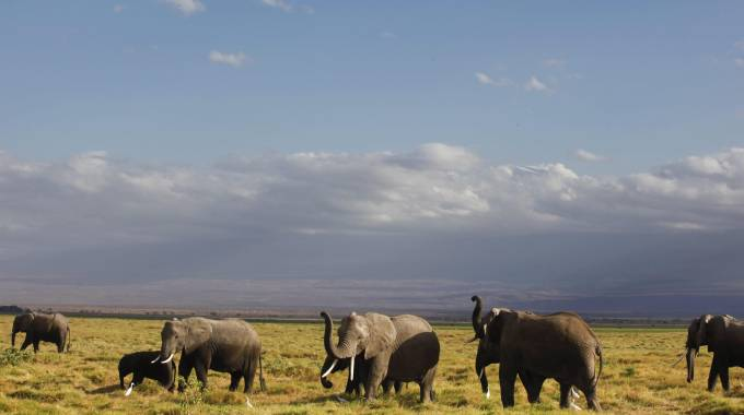 Elefanti africani in una foto Ansa