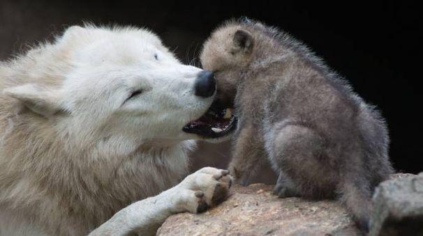 Mamma lupa con il cucciolo (Foto AFP)