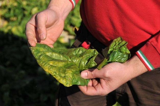 Gli spinaci sono ricchi di acido folico, vitamine, zinco e potassio