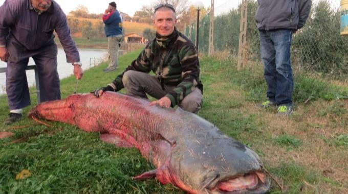 Il siluro gigante pescato a Marotta (foto Franceschetti)