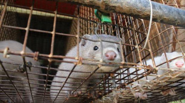 Visoni in una gabbia di un allevamento (Foto di repertorio)