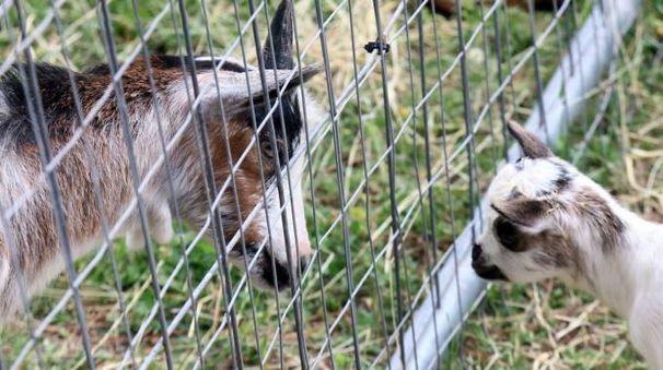 Tranciano il recinto della fattoria e rubano otto capre for Recinto elettrico per capre