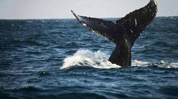 Balena in una foto AFP