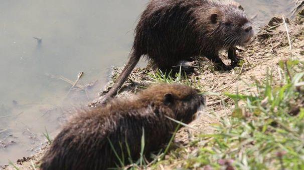 Due esemplari di nutrie (Foto Rastelli)