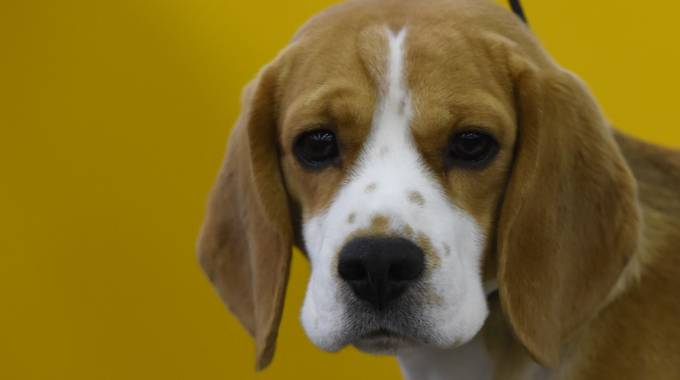 Beagle in una foto AFP