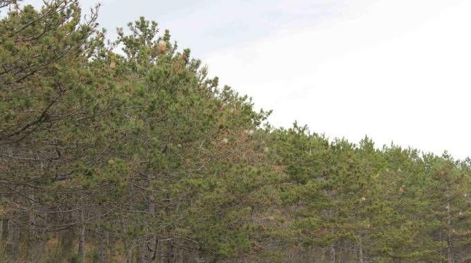 La Processionaria del pino
