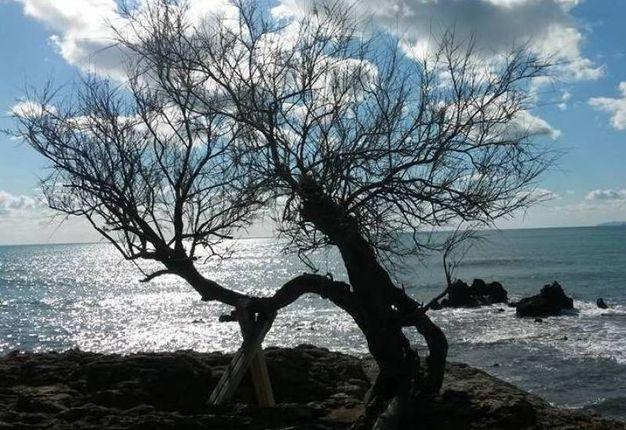 La Tamerice (Livorno), l'albero storico che ha ispirato tanti macchiaioli tra i quali Giovanni Fattori