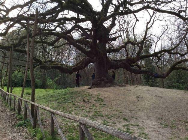 Quercia delle streghe,  è situata nel Parco di Villa Carrara a Gragnano, frazione di Capannori