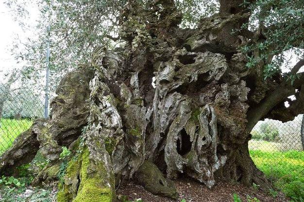 Olivo delle Streghe a Magliano