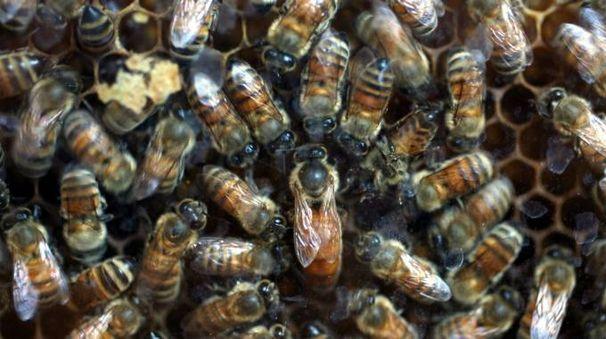 Uno sciame d'api, foto Luca Ravaglia