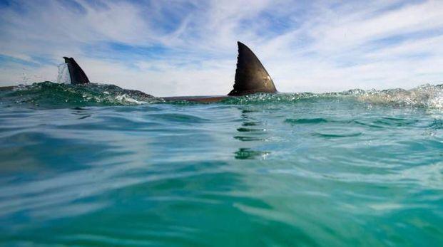 Uno squalo (foto di repertorio)