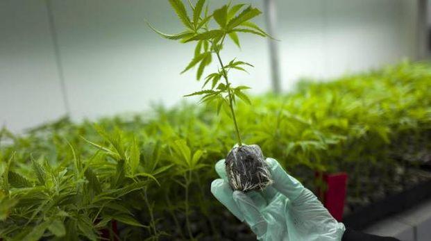 Coltivazione di cannabis a scopo terapeutico