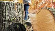 """La denuncia dei cittadini: """"Quegli alberi erano sani"""""""