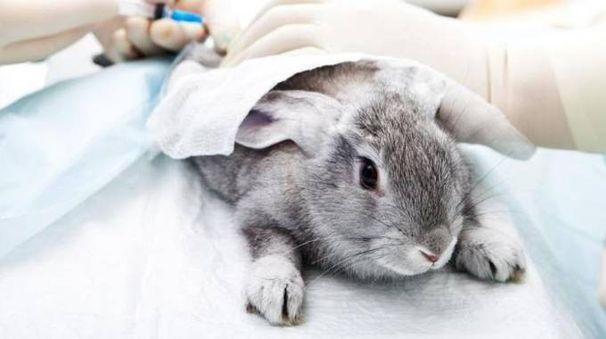 Coniglietto in laboratorio