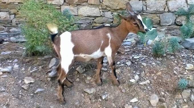 Una delle caprette sull'isola Palmaria, a Porto Venere