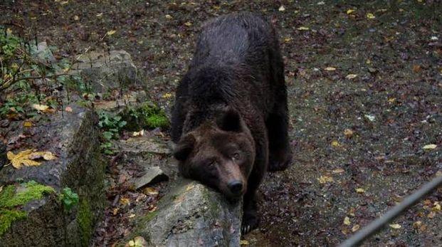 Bruno, l'anziano orso di Cavriglia