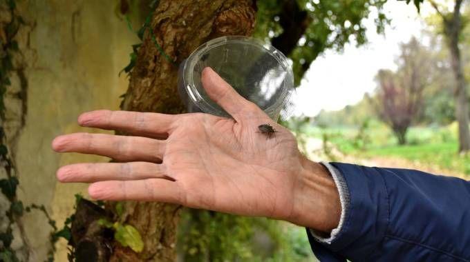 Una cimice asiatica in un frutteto forlivese, dietro alla mano una trappola per controllarne la diffusione (Fantini)