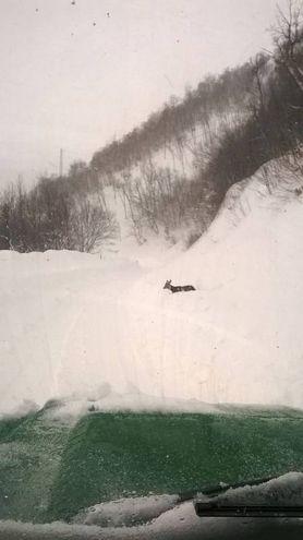 Un capriolo in evidente difficoltà a causa della neve