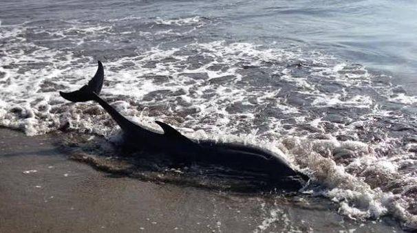 Il delfino spiaggiato in Feniglia