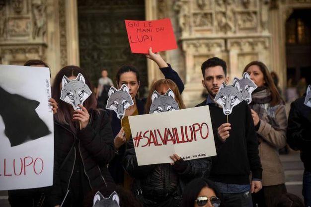 Milano, in piazza Duomo il flash mob per salvare i lupi