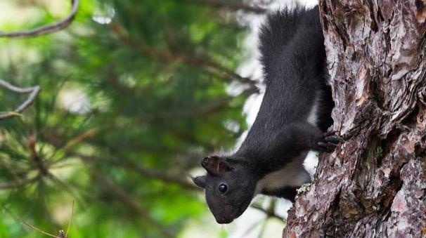 Lo scoiattolo meridionale (foto Antonio Mancuso)