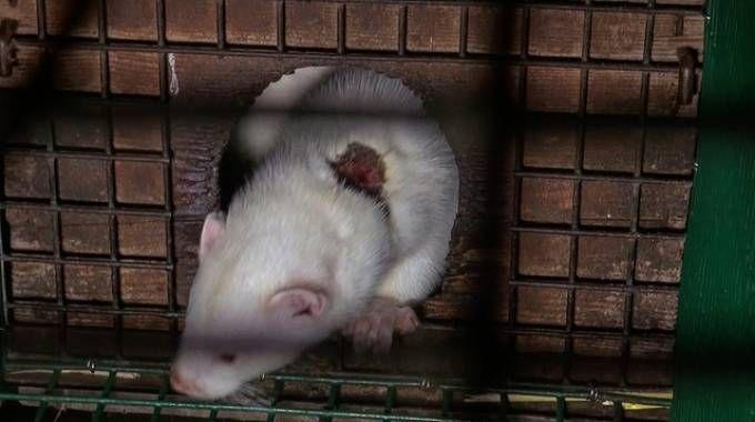 Visone ferito nella gabbia in una foto di repertorio