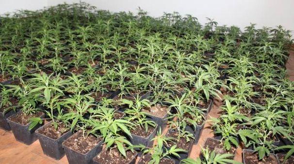 Piantine di marijuana (foto repertorio)