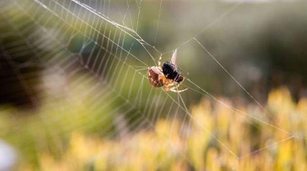 Un ragno mentre cattura la sua preda (Foto: Taylor Kennedy/Alamy)
