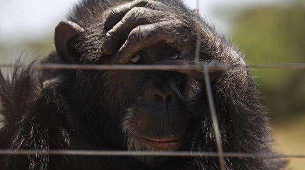 Scimpanzé in una foto Ansa