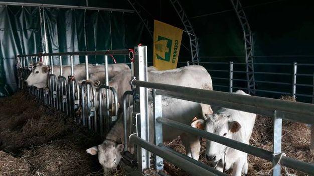 Le mucche nella nuova stalla