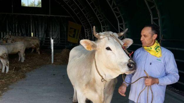 L'allevatore Vincenzo Massi con una delle sue mucche