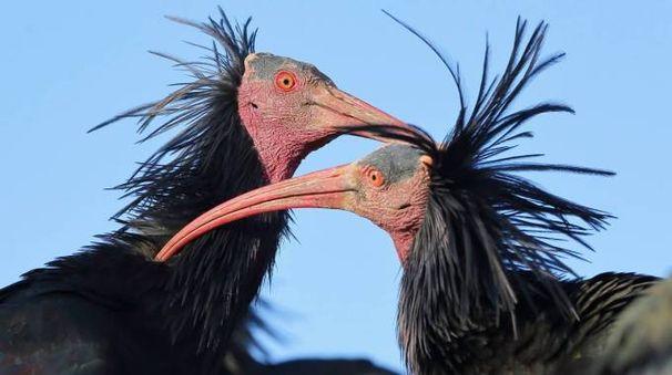 Effusioni tra Ibis eremita